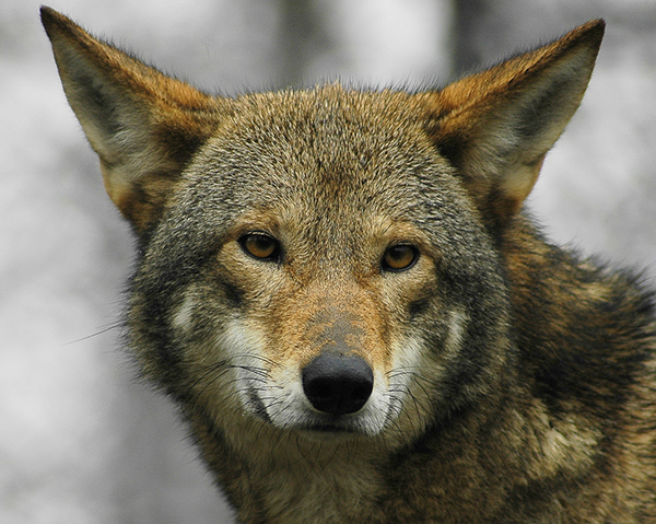 Red Wolf - Photo by Flickr user Ucumari