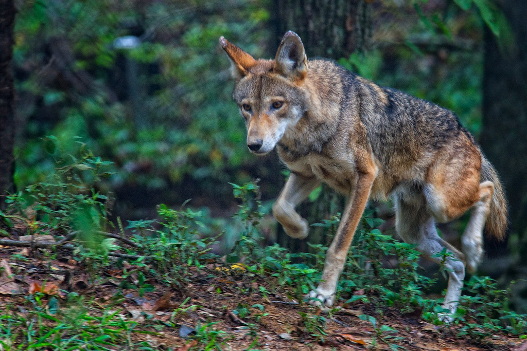 Red Wolf - Photo by Jim Liestman